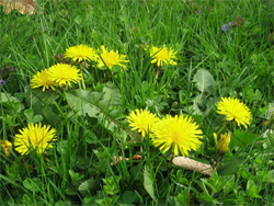 Dandelions may not harm your Vero Beach yard.